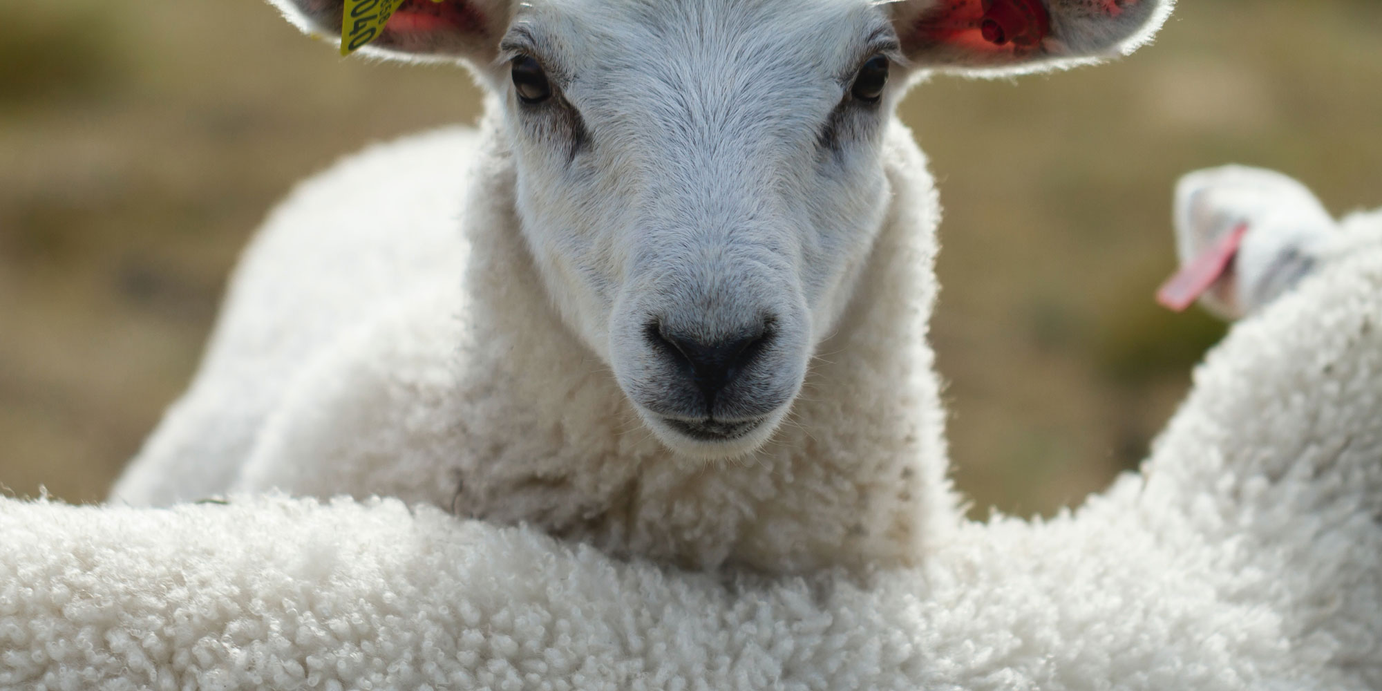 Why we use New Zealand & Argentinian wool
